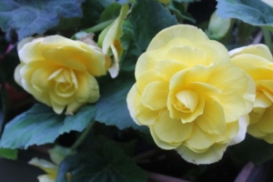 yellowbegonia_1291